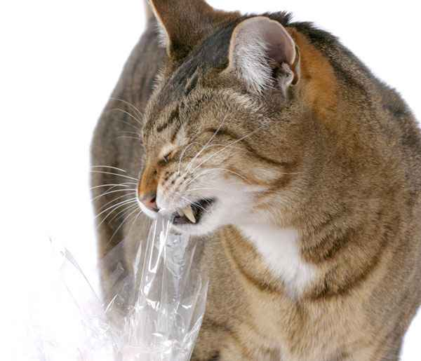 Cat eating plastic by Shutterstock