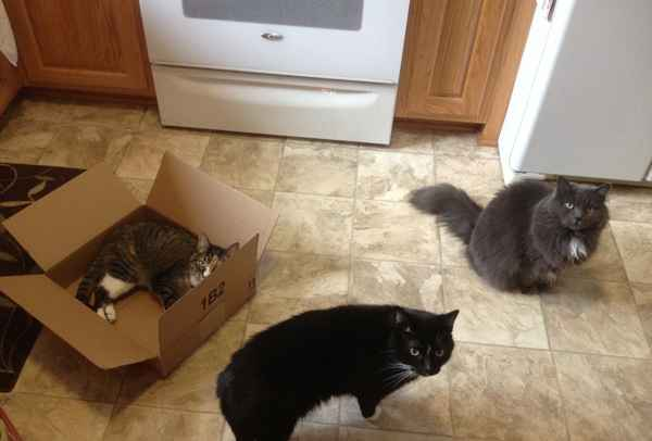 Three cats and one box ... what will happen next??